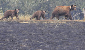 Three bears walk by a burnt field