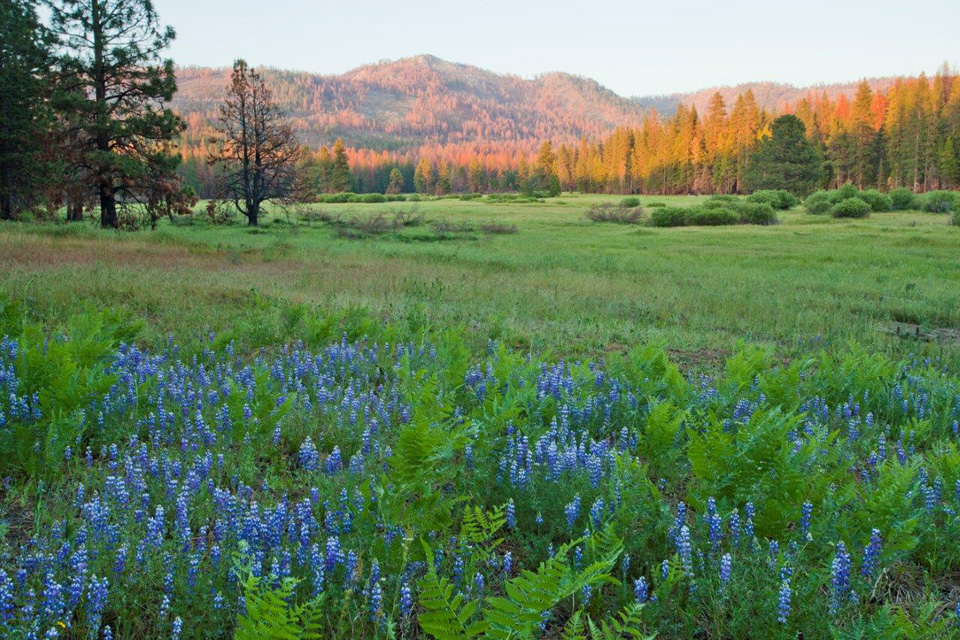 Alpenglow in Ackerson Meadow with lupine flowers in foreground