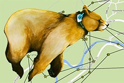 Illustrated bear with a collar superimposed over a GPS map of Yosemite