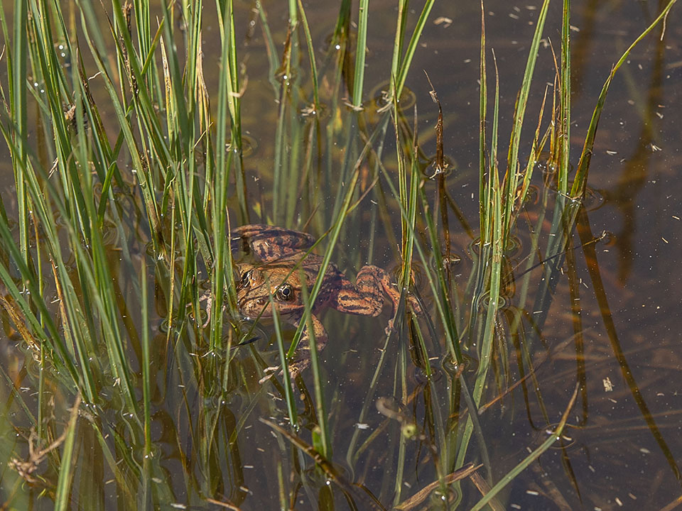 A California red-legged frog just released into Cook's Meadow