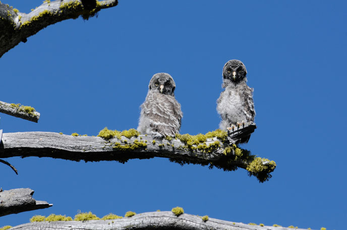 Two juvenile great gray owls perched on a branch