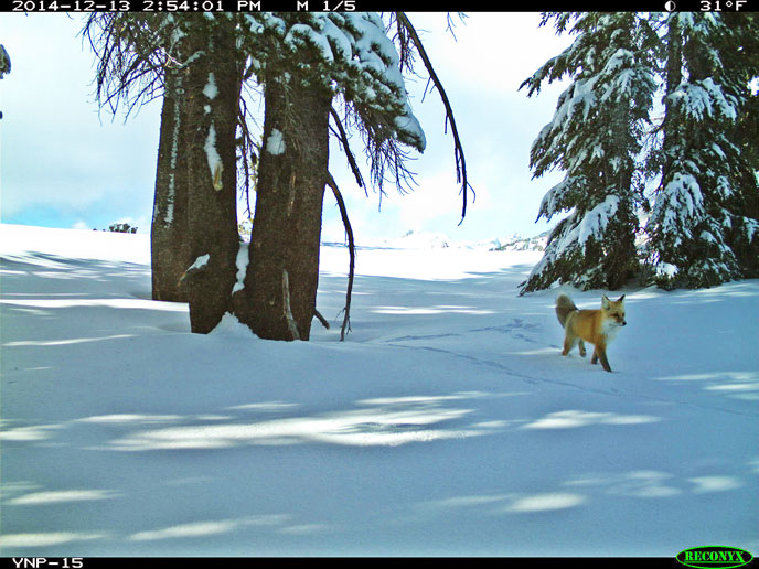 Red fox walking on snow