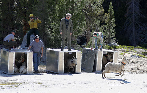 Bighorn sheep are released from their metal crates as several employees watch them run to their new home in the Cathedral Range.
