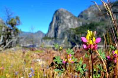 Bright lupine flower with granite cliffs in background