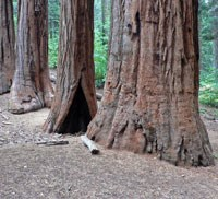 Three giant sequoia trees growing next to each other in a forest.