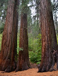 Three giant sequoias in the Merced Grove