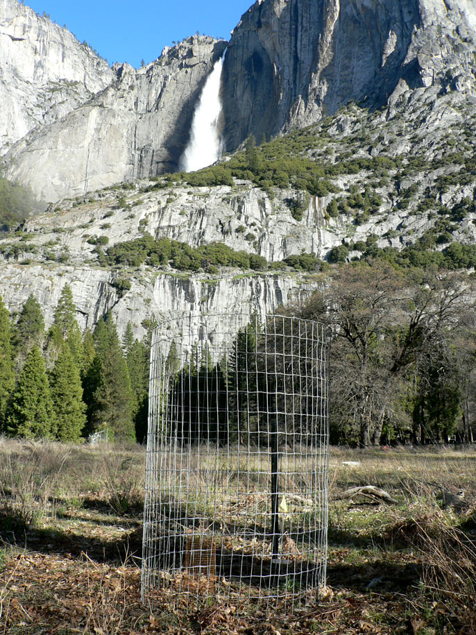 Fenced-in oak planting with Yosemite Falls in the background