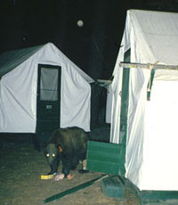 Bear eating food outside a tent cabin that the bear broke into