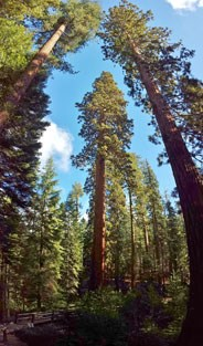 Giant sequoia trees towering over the forest.