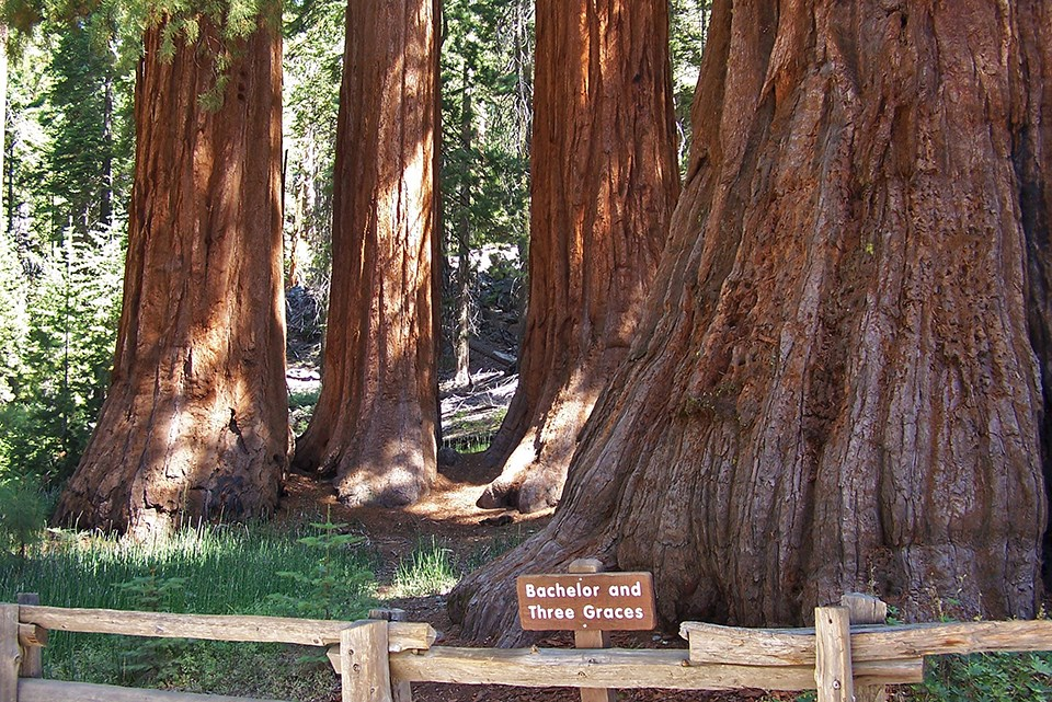 Bachelor And Three Graces In The Mariposa Grove With Sign Fence