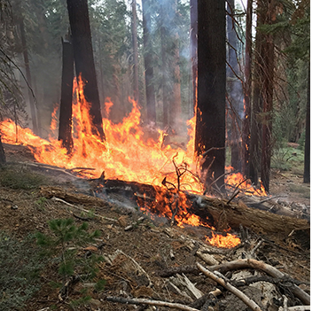 Fire burning through the downed woody debris in the Mariposa Grove