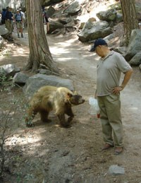 Bear approaching a visitor