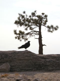 Sillhouette of common raven standing on granite next to sillhouette of pine tree