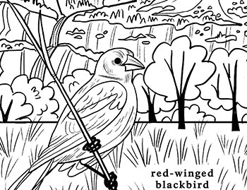 Coloring page with red-winged blackbird and Yosemite Falls