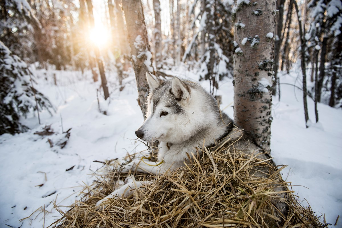A dropped Yukon Quest sled dog rests in a pile of straw among birch trees.