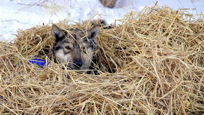 A happy canine athlete, cozy under a thick blanket of straw.