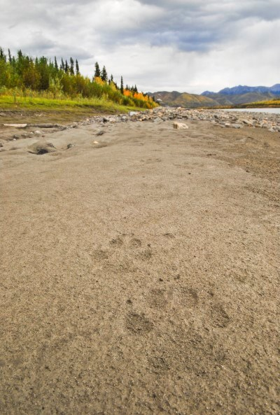 Wolf tracks in the sand along the Yukon River