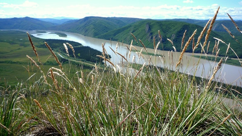 Grasses on a bluff overlooking the Yukon River