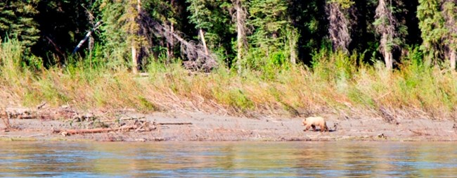 A grizzly bear walks the Yukon River shoreline