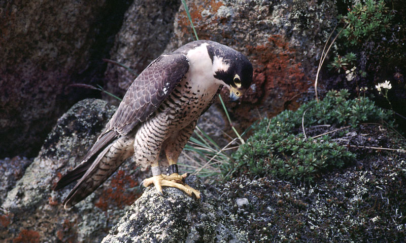 Adult peregrine falcon with leg bands