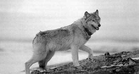 A collared wolf