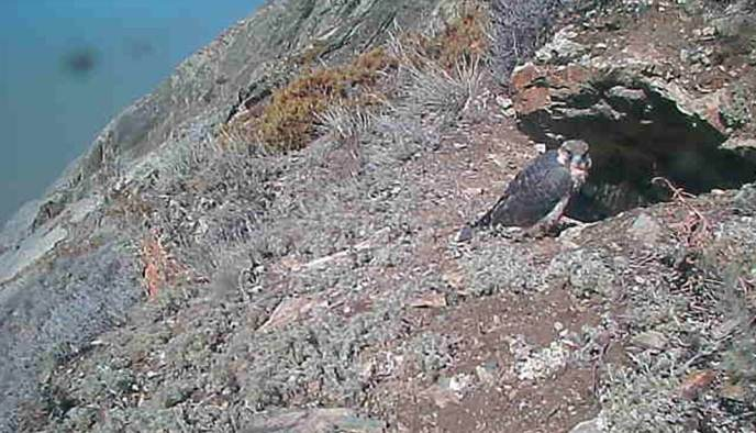 Peregrine falcon eyrie screen capture