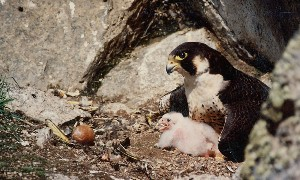 Peregrine falcon in nest with hatched young