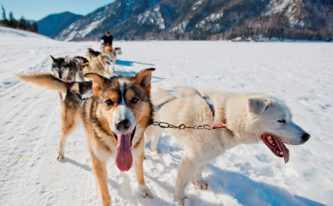Two happy lead dogs hang their tongues out long to cool off while mushing on the Yukon River