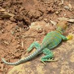 Image of collared lizard on rock.