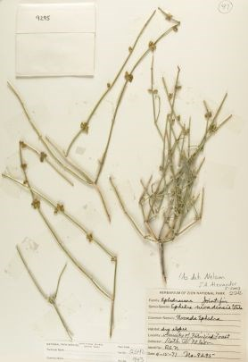 Ephedra nevadensis (Mormon Tea) Zion Museum Collection ZION 2542