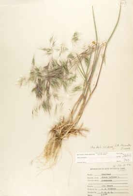 Bromus tectorum (Cheatgrass) Zion Museum Collection ZION 2652