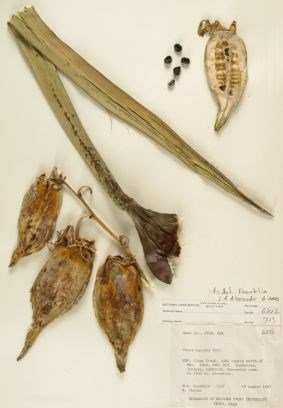 Yucca baccata (Datil Yucca) Zion Museum Collection ZION 6032.