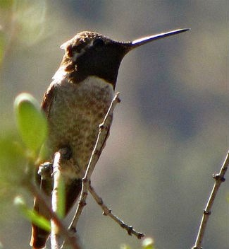 A male Anna's hummingbird