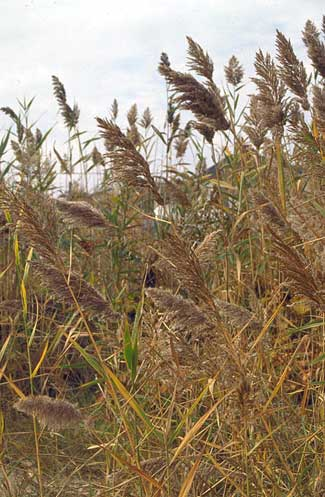 Common reed (Phragmites australis).
