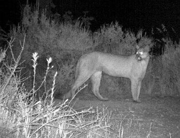 mountain lion triggers motion activated camera at night