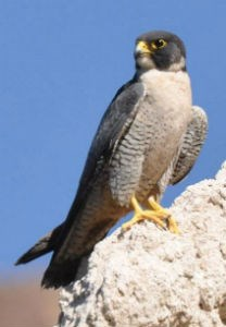 peregrine falcon perched on a white cliff