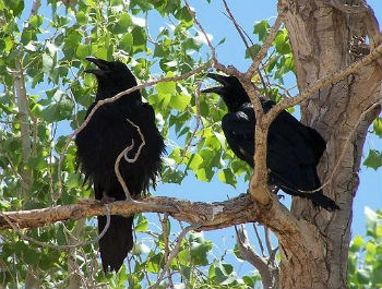 two ravens in a Fremont cottonwood tree