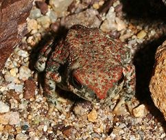 Red Spotted Toad (Bufo punctactus)