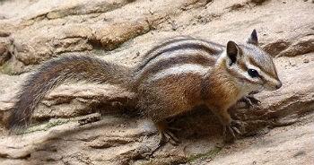 chipmunks zion national park u s national park service