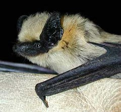 western pipistrelle in gloved hand, caught during mist-netting
