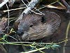 beaver in water with sticks
