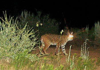 Bobcat walking at night in Zion wilderness