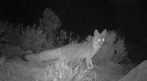 gray fox at night, caught on automated wildlife camera