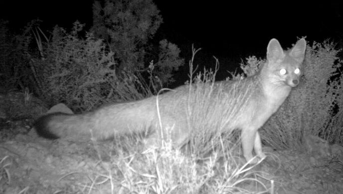 Night photo of gray fox from motion-activated wildlife camera