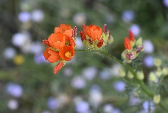 Shrubby and woolly, this perennial grows 1-3 ft., with numerous large, apricot-orange flowers in wand-like clusters near the tips of weak, wide-ranging, sometimes sprawling stems.