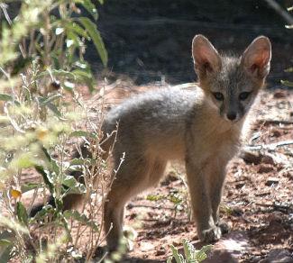 Gray Fox Zion National Park U S National Park Service