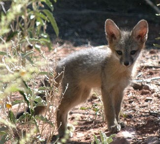 Gray fox kit looking adorable