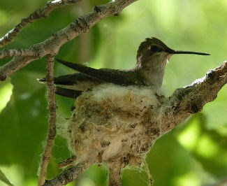a green and white female hummingbird sits on a tiny nest in a tree