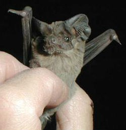 Mexican free-tailed bat held in hand