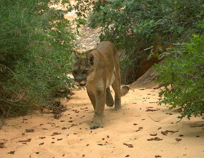 mountain lion walks in a dry desert wash